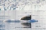 Ringed-Seal_Harefjord_20Sept05_35