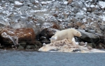 Polar Bear eating a whale (2)