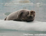 https://www.spitsbergen-svalbard.com/spitsbergen-information/fauna/bearded-seal.html