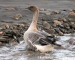 https://www.spitsbergen-svalbard.com/spitsbergen-information/fauna/pink-footed-goose.html