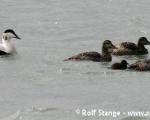 https://www.spitsbergen-svalbard.com/spitsbergen-information/fauna/common-eider-duck.html
