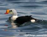 https://www.spitsbergen-svalbard.com/spitsbergen-information/fauna/king-eider.html