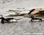 https://www.spitsbergen-svalbard.com/spitsbergen-information/fauna/long-tailed-duck.html