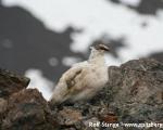https://www.spitsbergen-svalbard.com/spitsbergen-information/fauna/rock-ptarmigan.html