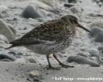 https://www.spitsbergen-svalbard.com/spitsbergen-information/fauna/purple-sandpiper.html