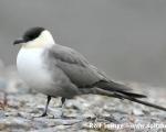 https://www.spitsbergen-svalbard.com/spitsbergen-information/fauna/long-tailed-skua.html
