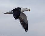 https://www.spitsbergen-svalbard.com/spitsbergen-information/fauna/great-black-backed-gull.html