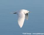 https://www.spitsbergen-svalbard.com/spitsbergen-information/fauna/ivory-gull.html