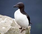 https://www.spitsbergen-svalbard.com/spitsbergen-information/fauna/bruenichs-guillemot.html