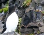 https://www.spitsbergen-svalbard.com/spitsbergen-information/fauna/razorbill.html