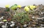 Svalbard poppy  (yellow)  (Papaver dahlianum)