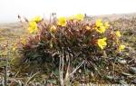 Bog saxifrage  (Saxifraga hirculus)