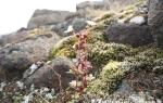 Drooping saxifrage  (Saxifraga cernua)