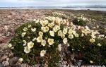 Mountain avens  (Dryas octopetala)