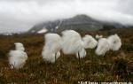 Arctic cottongrass  (Eriophorum scheuchzeri)