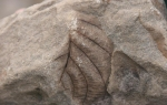 c2_Longyeardalen-Fossilien_17Juli08_02