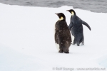 d3_emperor-penguins_24jan15_29