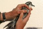 DivingPetrel_Tauchsturmvogel_AO05-071
