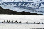 Eiderenten am Rand des Fjordeises.