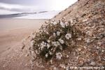 Arktisches Hornkraut (Cerastium arcticum)