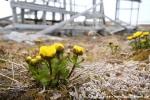 Schnee-Hahnenfuß (Ranunculus nivalis)