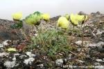 Svalbardmohn (gelbe Variante) (Papaver dahlianum)