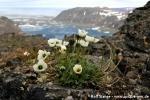 Svalbardmohn (weiße Variante) (Papaver dahlianum)