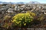 Fetthennensteinbrech (Saxifraga aizoides)