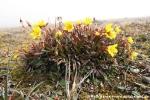 Moorsteinbrech (Saxifraga hirculus)