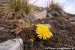 Polarlöwenzahn (Taraxacum brachyceras)