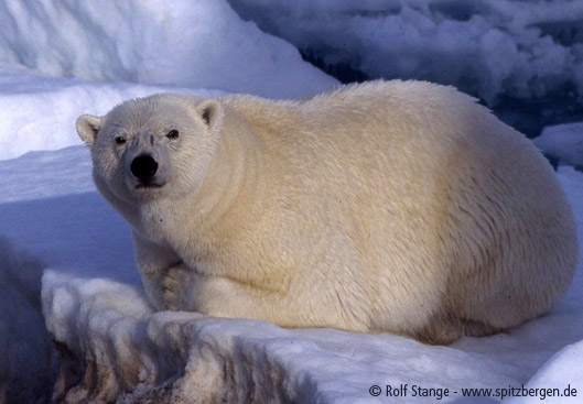 Polar bear: male