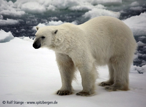 Polar bear: female