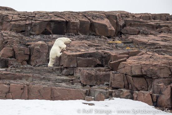 climbing polar bear