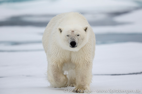 determined polar bear