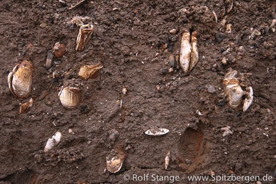 Sandklaffmuschel (Mya arenaria)