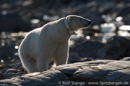 Female polar bear with satellite tracker