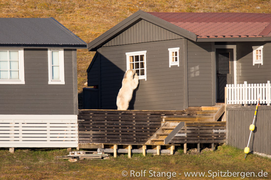 Polar bear near Longyearbyen