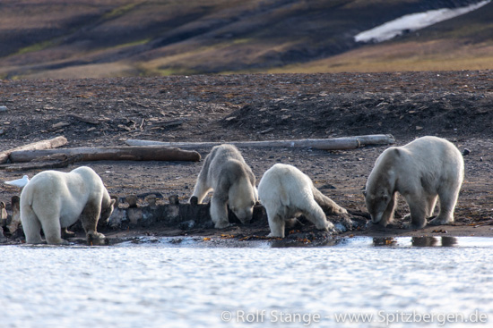Polar bears with whale carcass