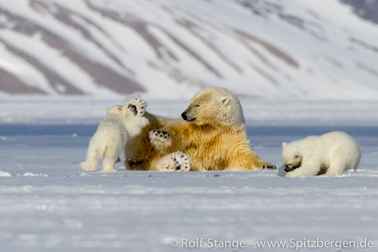 Polar bear family, Tempelfjord