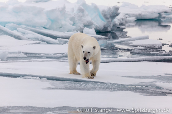 polar bear on drift ice