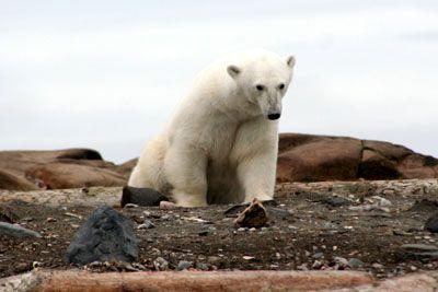 Eisbär in Spitzbergen
