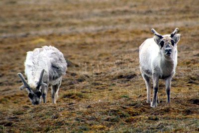 Natural fluctuations of reindeer: 2008 not a good year in Spitsbergen