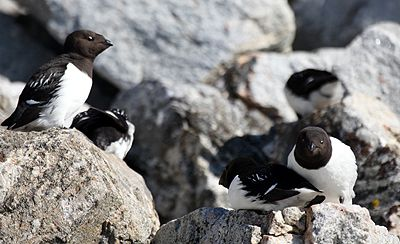 Little auks at northwestern Spitsbergen