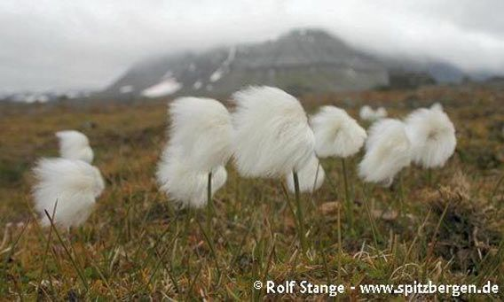 Cotton grass on Edgeøya