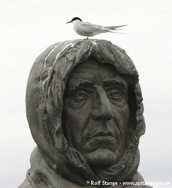 Mister Amundsen in Ny Ålesund using an Arctic tern to cover his head