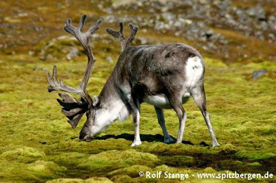Reindeer enjoying rich vegetation under a colony of Little Auks in the Hornsund
