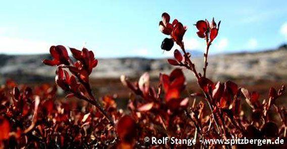 Reisezeiten in der Arktis: Tundravegetation mit Herbstfärbung