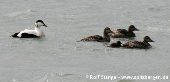 Common eider ducks, Forlandsund