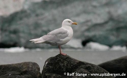 Polarmåke, Alkefjellet