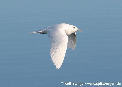 Ivory gull